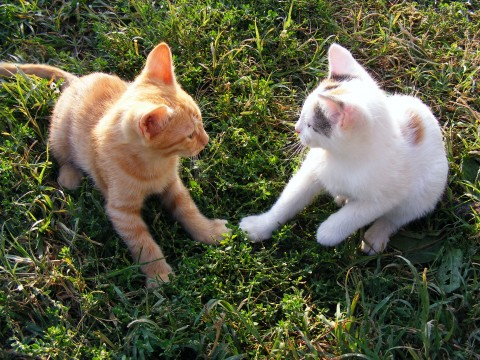 Funny-Cats-Playing_16374-480x360