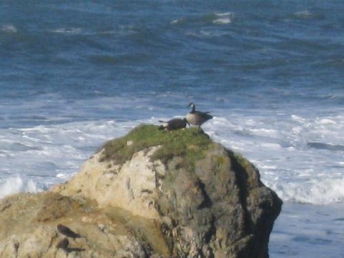Aleutian Geese pair, roosting.